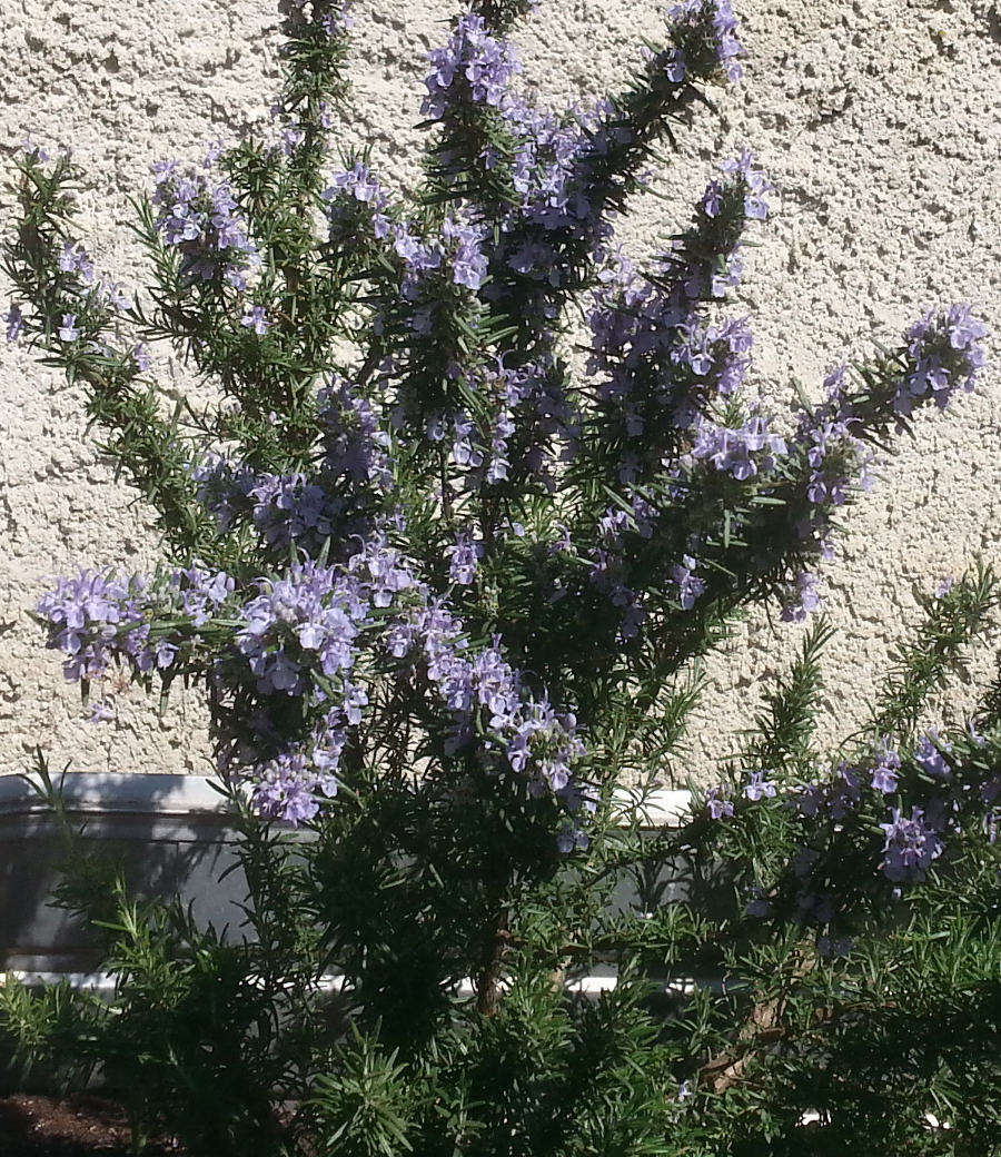 Blüte des Rosmarins