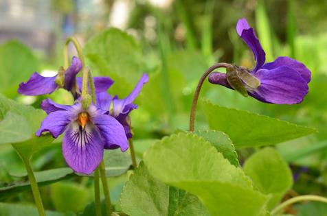 die hübsche Blüte des Veilchens