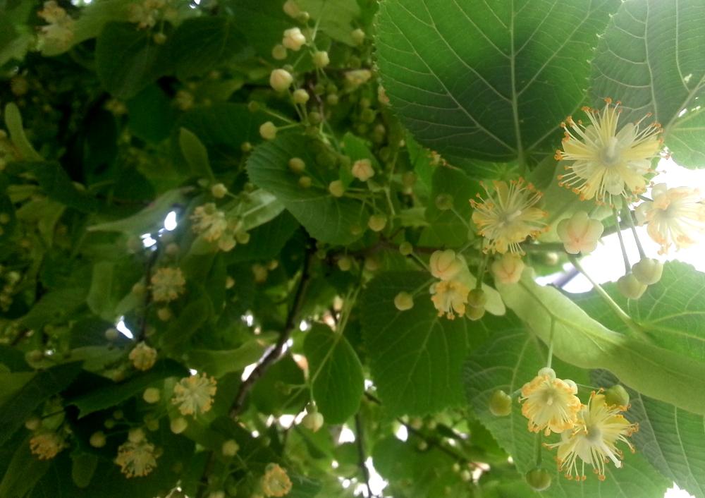 Lindenblüte und Blätter