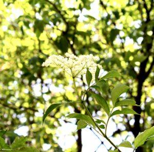 Hulunderblüte