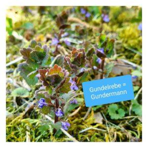 Gundelrebe Gundermann