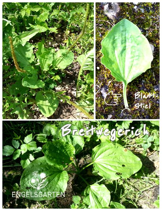 Pflanzenmerksmale Breitwegerich