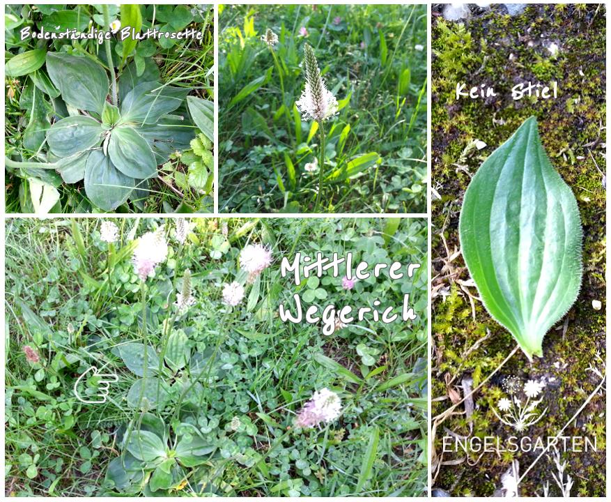 Pflanzenmerkmale Mittlerer Wegerich