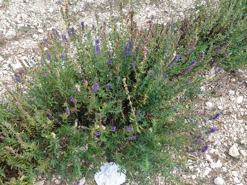 Breitblättriger Lavendel