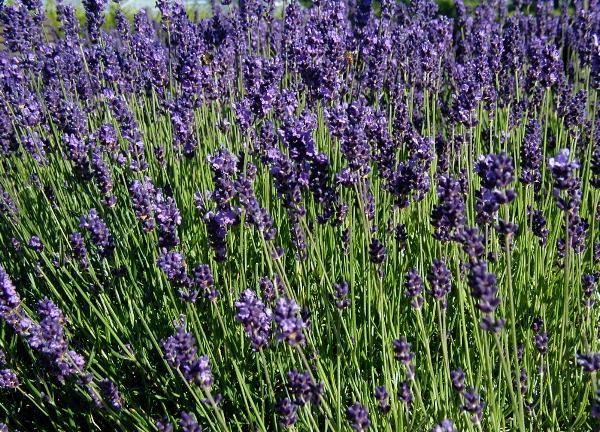 Echter Lavendel (Lavandula Angustifolia)