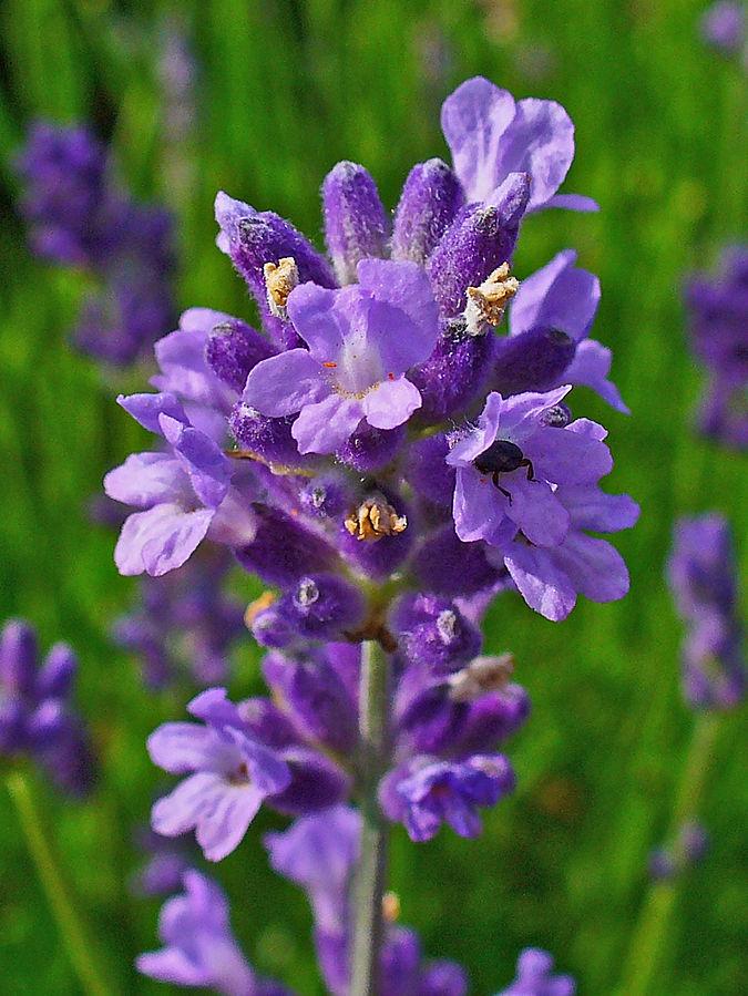 Echter LAvendel (Lavandula Angustifolia) Blüte