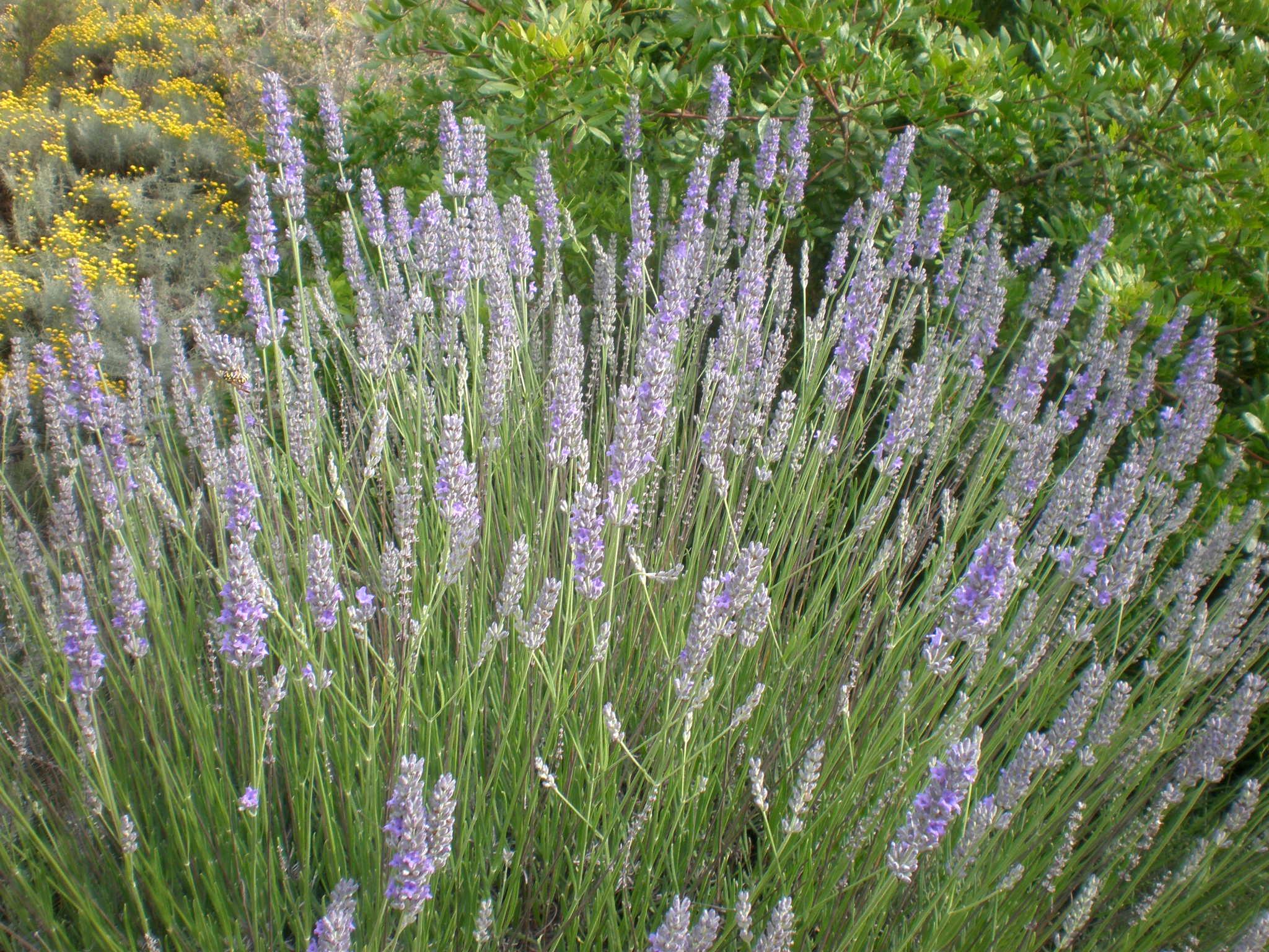 Lavendelarten Überblick