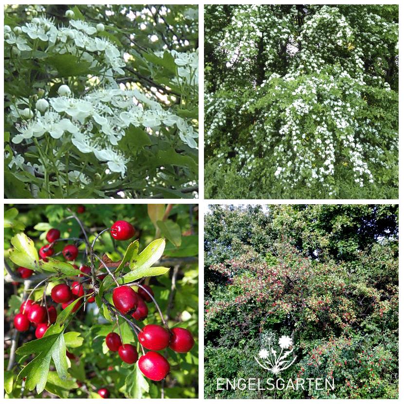 Wießdorn Blüten und Beeren