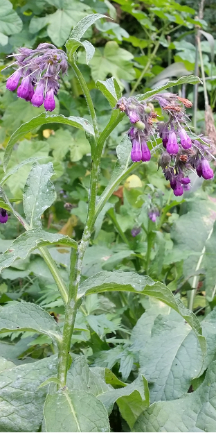 Beinwell violett Blüte