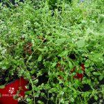 Majoran Pflanze