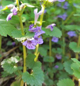 Gundermann Blüte