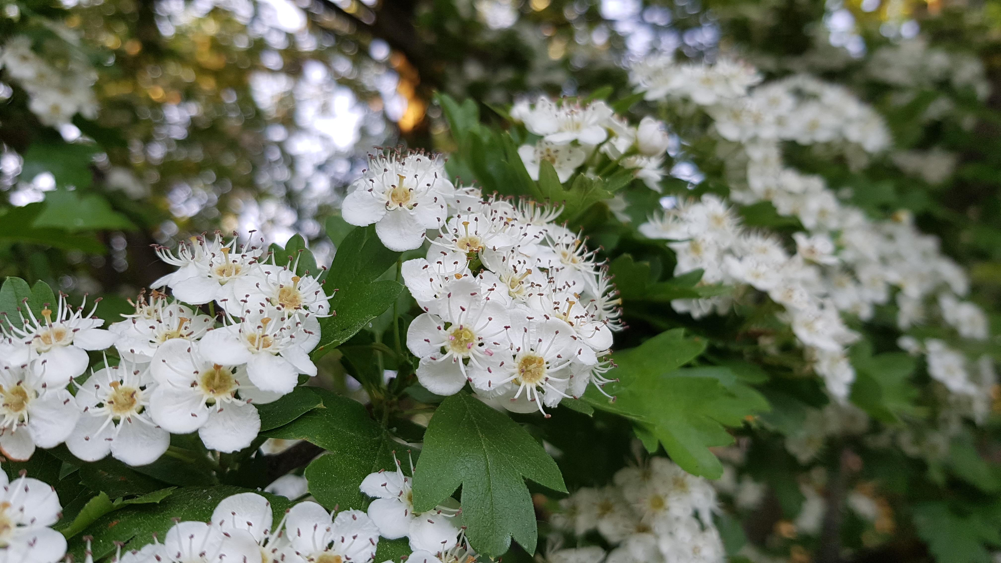 Weißdorn Blüten