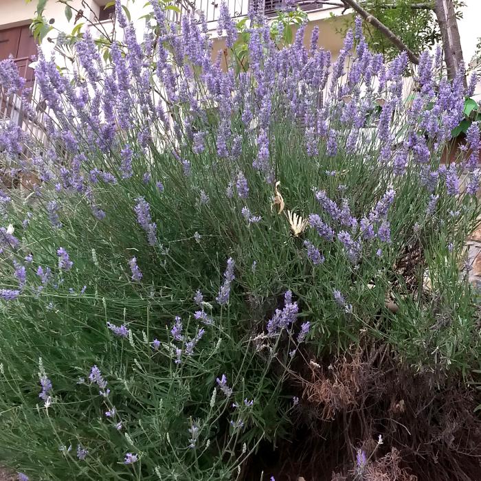 Lavendel Pflegetipps