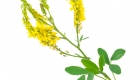 50112601 - medicinal plant: melilotus officinalis (yellow sweet clower)