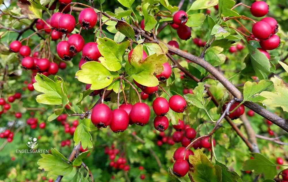 Weißdorn Beeren