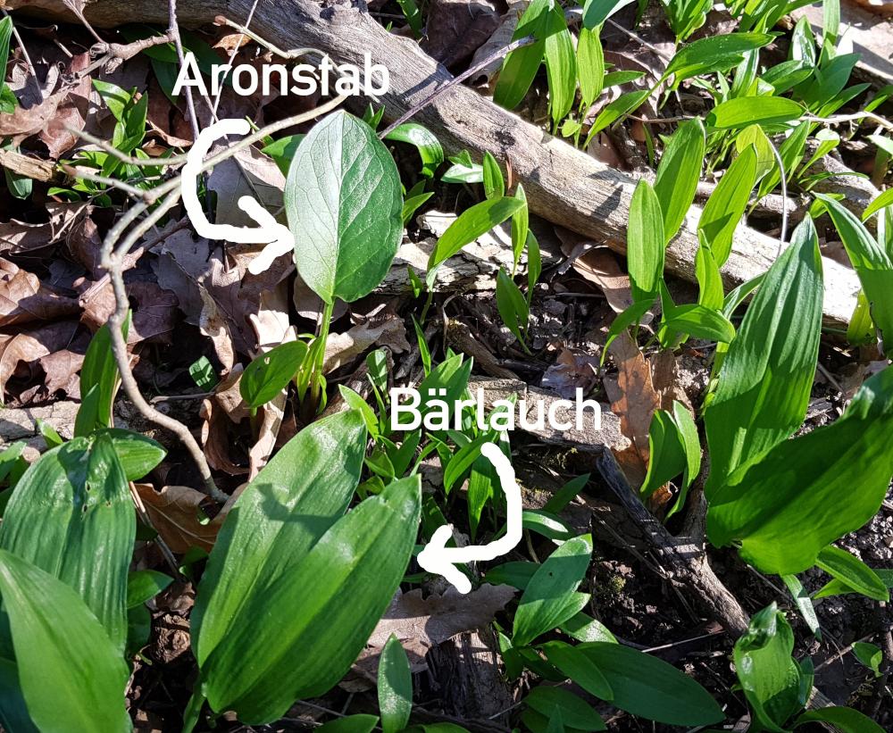 Aronstab vs. Bärlauch