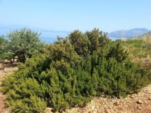Rosmarin am Mittelmeer