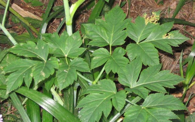 Ashitaba Pflanze