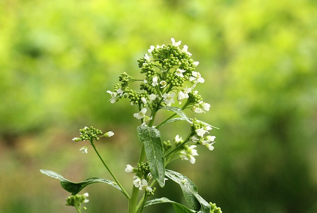Kren Meerrettich Heilpflanze